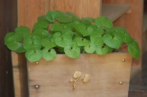 上賀茂神社に飾られている双葉葵と神紋
